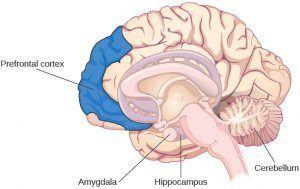 cnx_psych_08_02_brain